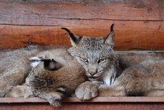 Lynx. Two lynxes resting on a top of a dog house together Stock Photography