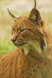 Lynx. The Eurasian lynx (Lynx lynx) is a wild cat in Europe and Siberia Royalty Free Stock Image