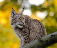 Lynx Стоковое Фото