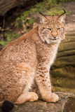Lynx. Portrait against a background of rock and grass Royalty Free Stock Photos