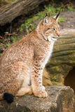 Lynx. Portrait against a background of rock and grass Stock Photography