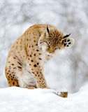 Lynx. Beautiful wild lynx in winter Royalty Free Stock Image