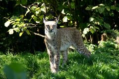 Lynx 3 Royalty Free Stock Image