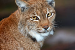 Lynx Stock Foto