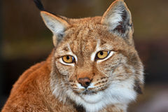 Lynx Photo libre de droits