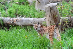 Lynx Fotografia Stock Libera da Diritti