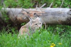 Lynx Immagini Stock