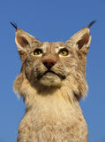 Lynx Royalty-vrije Stock Fotografie