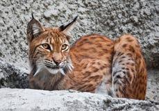 Lynx Fotografie Stock