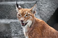 Lynx Images stock