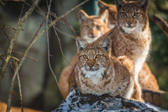 Lynx Image stock