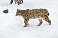 Lynx Photographie stock libre de droits