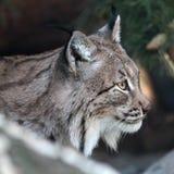 Lynx. Closeup portrait of lynx lurking on prey Royalty Free Stock Photos