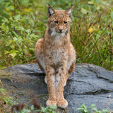 Lynx. A Lynx close-up germany Stock Images