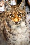 Портрет Lynx Стоковая Фотография RF