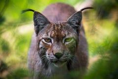 lynx Lizenzfreie Stockfotografie