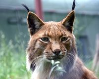 lynx Photos stock