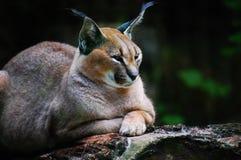 lynx Стоковые Изображения