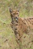 европейский lynx Стоковые Изображения RF
