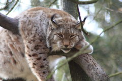 Lynx Royalty-vrije Stock Afbeeldingen