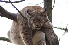 Lynx. A lynx sleeping in a tree Stock Photos