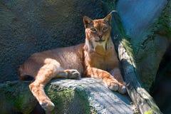 Lynx Stock Foto's
