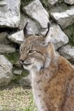 Lynx. European lynx Stock Photography