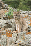 Lynx. Young lynx in rocks close to his den,Montana Royalty Free Stock Image