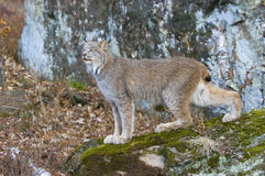Lynx. Canadian lynx photographed in Northern Minnesota Royalty Free Stock Photos