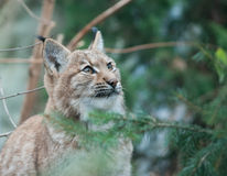 lynx Foto de Stock Royalty Free