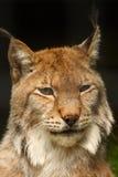 Lynx Stock Photography