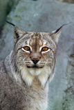 Lynx. Portrait of a lynx close-up Stock Image