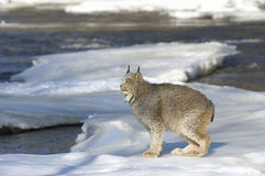 Lynx. Canadian lynx on ice floe in Minnesota river Royalty Free Stock Photography