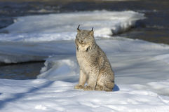 Lynx. Canadian lynx sitting on ice floe in Northern Minnesota river Royalty Free Stock Image
