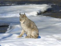Lynx. Canadian lynx on ice floe in Northern Minnesota river Royalty Free Stock Photography