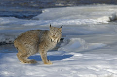 Lynx. Canadian lynx on ice floe in Northern Minnesota river Stock Image