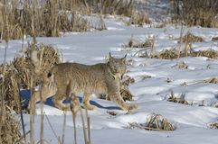Lynx. Canadian lynx on snow covered field in Northern Minnesota Royalty Free Stock Image