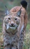 lynx Images libres de droits