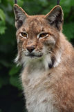 Lynx. (Felis ) is sitting in the forest Stock Image