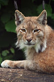 Lynx. (Felis ) is laying on a branch in the forest Royalty Free Stock Photography