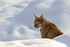 lynx Стоковая Фотография