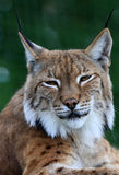 Lynx. Portrait of a beautiful and very contented looking Lynx Stock Images