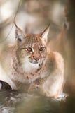 Lynx achter de boom Stock Afbeeldingen
