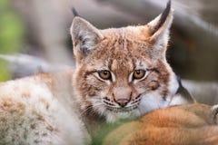Lynx achter de takken royalty-vrije stock afbeeldingen