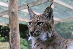 Lynx affronta fotografie stock