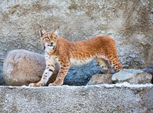 The Lynx against a concrete wall Stock Photography
