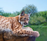 Lynx against wild nature Royalty Free Stock Image