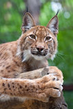 Lynx  against wildness area Stock Images