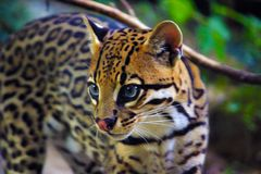 Lynx. Animal wildlife nature Stock Photography