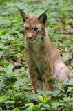 Lynx animals Royalty Free Stock Images
